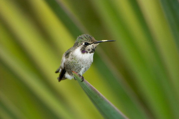 Humming Bird Perched<br /> 0522454