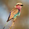 Lilac-breasted Roller, Kruger National Park, South Africa  November 2010