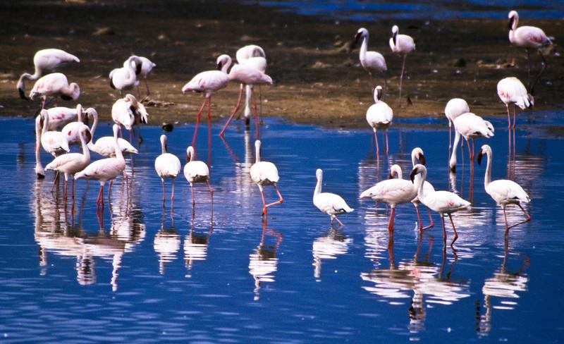 Greater & Lesser Flamingos