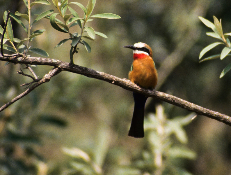 White-frinted Bee-eater