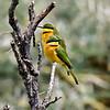 Little Bee-eaters, Niarobi NP, Kenya