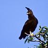 Long-crested Eagle, Lake Borgorio, Kenya  August 1994