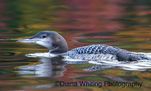 Young Loon With Fall Reflections