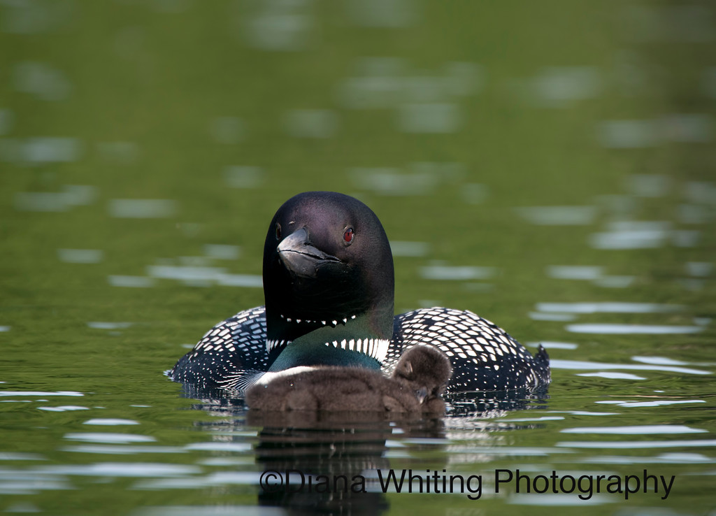 Loon With Sleeping Chick