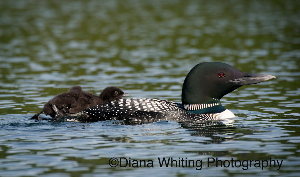 Loon With Two Chicks on Back