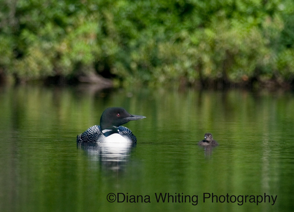 Loon With One Day Old Chick