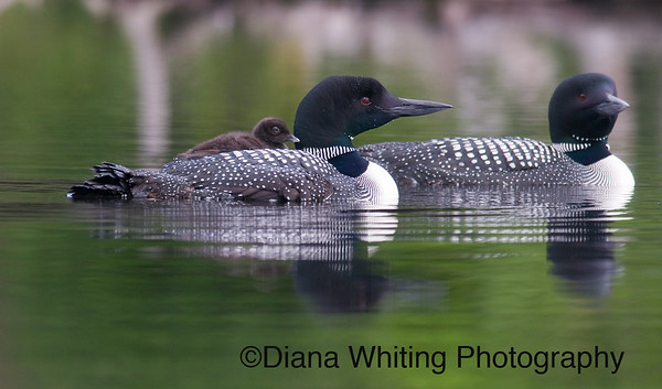 Loon Family With Young Chick on Back