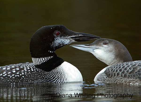 Loon With Older Chick