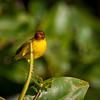 Yellow (Mangrove) Warbler -- San Blas, Mexico  February  2013