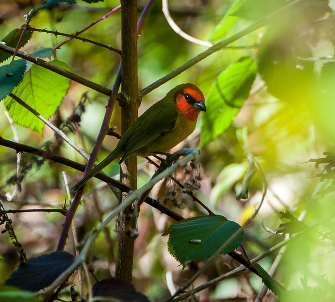 Red-headed Tanager, Sinaloa, Mexico