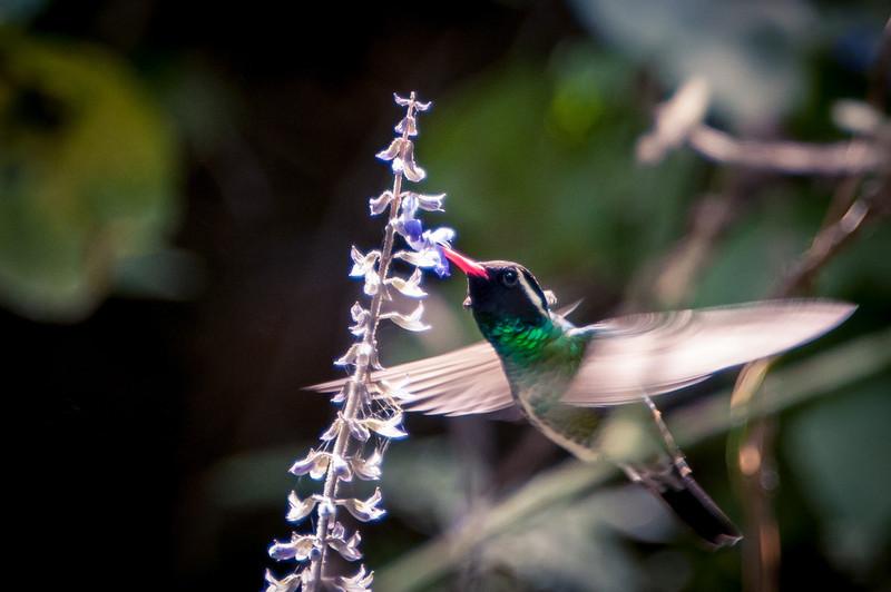 White-eared Hummingbird, east of San Blas, Nayarit,  Mexico