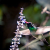 White-eared Hummingbird, east of San Blas, Nayarit,  Mexico