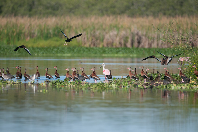 Roseate Spoonbill & Black-bellied Whistling-ducks