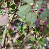 White-eared Hummingbird