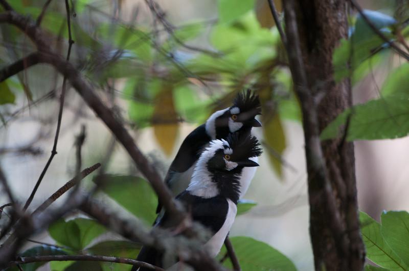 Tufted Jay -- Sinaloa, Mexico