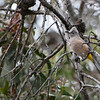 Gray Silky-flycatchers