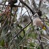 Gray Silky-flycatchers