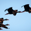 Black-bellied Whistling-duck -- San Blas, Mexico