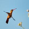 Cinnamon Hummingbird, in the hills above San Blas, Nayarit, Mexico