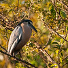 Boat-billed Heron, near San Blas, Nayarit, Mexico