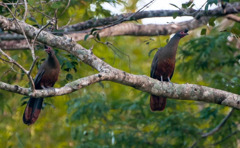Rufous-bellied Chacalacas