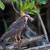 Snail Kite (f), San Blas, Nayarit, Mex