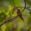Cinnamon Hummingdbird