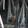 Rufous-necked Wood-rail,  San Blas,  Nayarit,  Mexico  February 2013