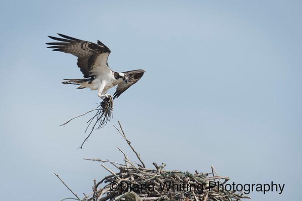 Osprey Adding Nest Material
