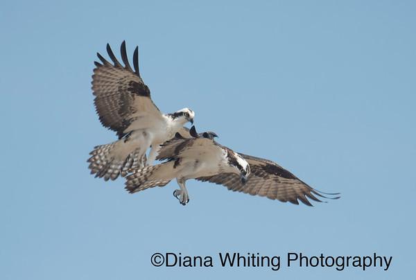 Osprey Pair in Flight