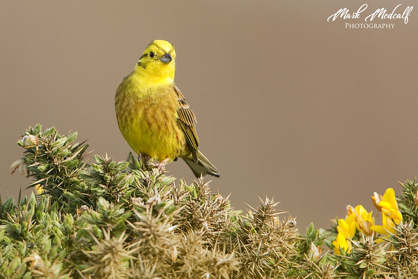 Yellowhammer & Gorse