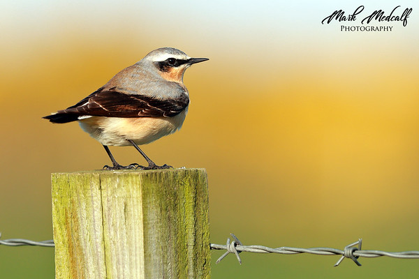 Yellow Wheatear