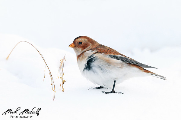 Snow Bunting feeding