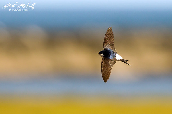 House Martin Flying
