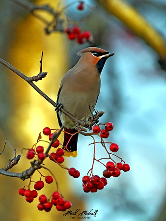 Waxwing Tree