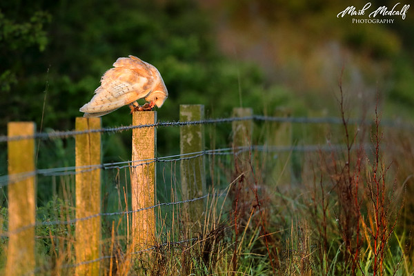 Vole on a Post