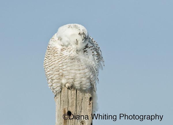 Snowy Owl Preening 2