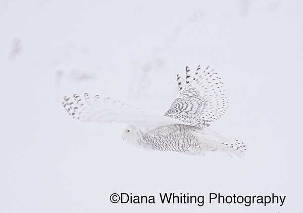 Snowy Owl In a Snowstorm