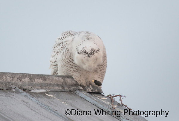 Snowy Owl Coughing up Pellet_DSC8657 copy 2