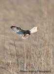 Short-eared Owl Spying Prey