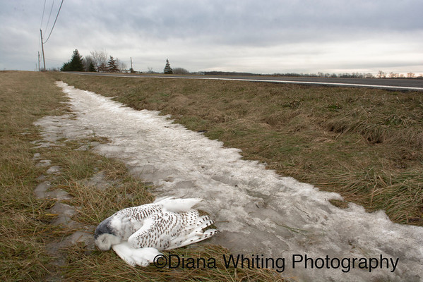 Snowy Owl Car Dead from electrocution. January 13th 2014  Sadly, Snowy Owls will often perch on poles by the roadside. Though car collisions might be a more common cause of death, they can be electrocuted.as well. The dark head indicates that this bird had recently been banded.