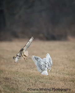 Snowy Owl and Red-tailed Hawk Interaction _DSC0407 dec 2014