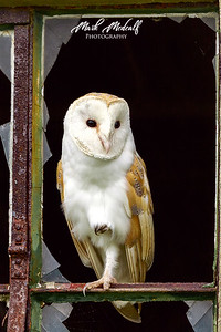 Barn Owl3705