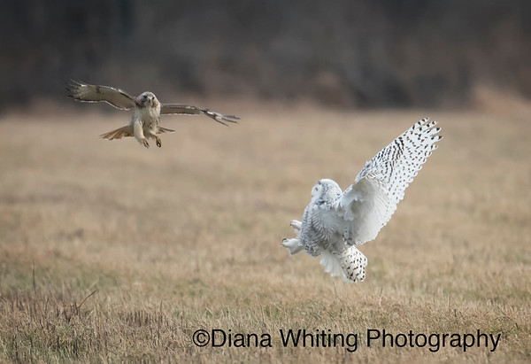Snowy Owl and Red-tailed Hawk Scuffle_DSC0408