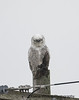 Snowy Owl With Live Starling