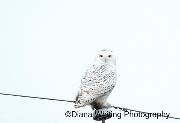 Snowy Owl_DSC7350