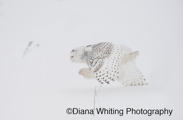 Snowy Owl Pouncing on Prey_