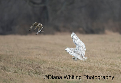 Red-tailed Hawk Dive Bombing Snowy Owl Dec 2014_DSC0409