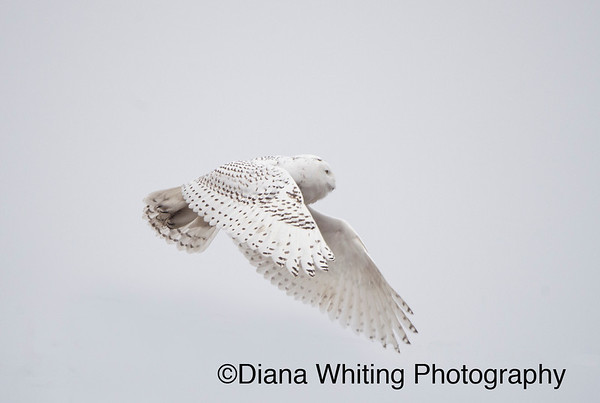 Snowy Owl December 8 2013_DSC0887 copy