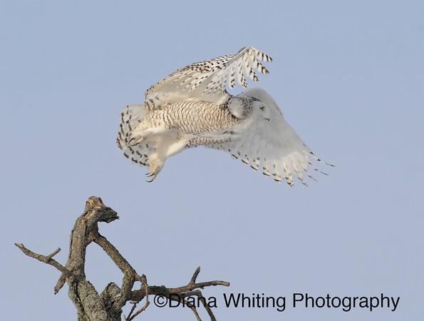 Snowy owl_DEW4559 copy
